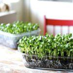 Микрозелень — как вырастить самому