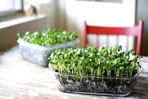 Микрозелень - как вырастить самому